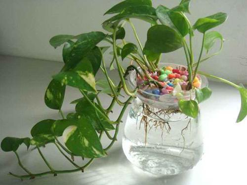 家中放水種植物